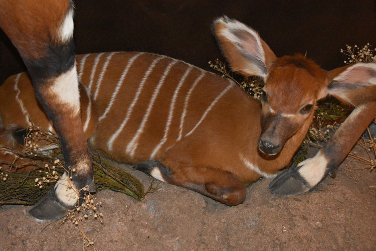 Baby Bongo Antelope laying down Baby Animal Themes Animal Wildlife Animals In The Wild Antelope Bongo Brown Close-up Day Domestic Animals Lying Down Mammal Nature No People One Animal Outdoors Relaxation