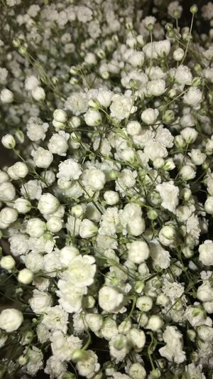 baby's breath; Babysbreath Flower Nature Growth Fragility Freshness No People Beauty In Nature Springtime Close-up