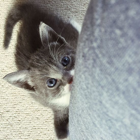 Animal Themes One Animal Mammal Pets Domestic Animals Whisker Feline Cat Indoors  Close-up Looking At Camera Close Up Fluffy Blue Eyes Welpen Kätzchen Cat Lovers Sweet Kitten Indoors  Baby Cat Playing Cute Pet Portraits