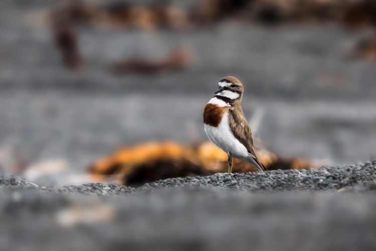 Ringed Plover Animal Themes Animal Wildlife Animals In The Wild Belted Plover Bird Close-up Day Nature No People One Animal Outdoors Perching Proud Bird Selective Focus Sparrow Inner Power
