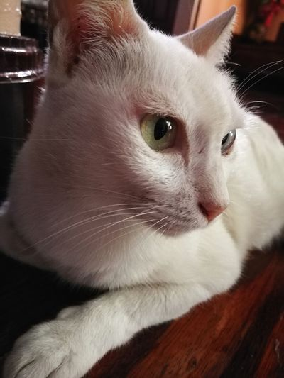 Pets Domestic Cat One Animal Animal Themes Animal Close-up Indoors  Kitten Thai Cats Thai Animal