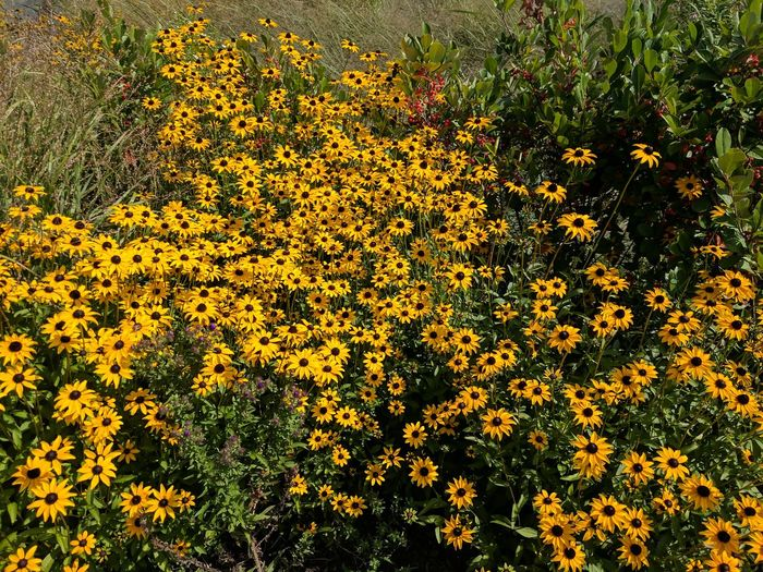 Black-Eyed Susans Yellow Flower Nature Beauty In Nature Outdoors Pretty Pretty Flowers Rosamond Gifford Zoo Zoo wild flowers