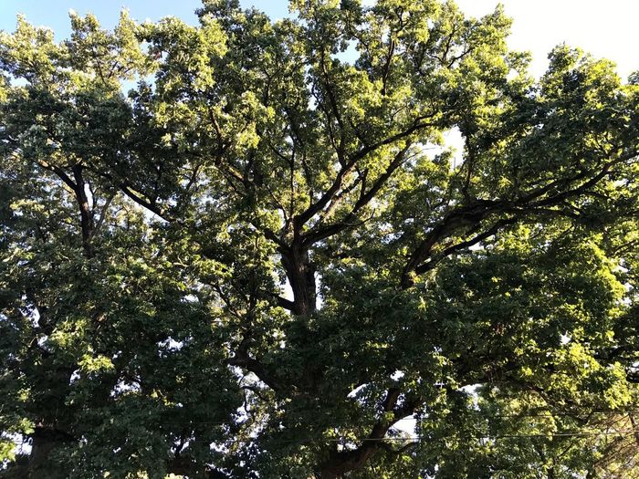 Big tree in Shadeland, Indiana Tree Nature Growth Branch Low Angle View No People Beauty In Nature Day Outdoors Tranquility Sky