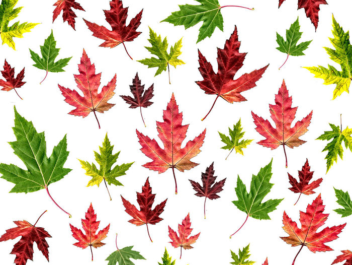 Maple Leaf Leaf
