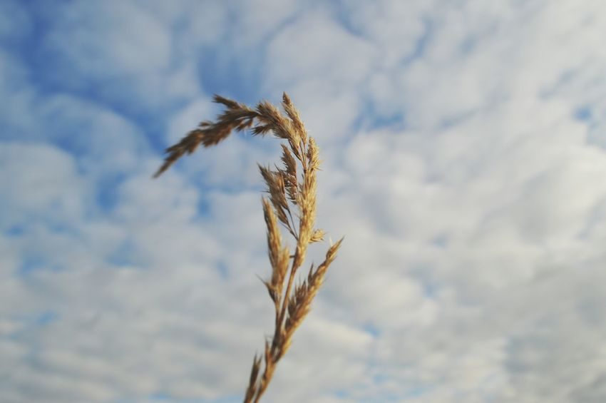 Nikonphotography Nikon D3200 My Point Of View MyPhotography Plant Blue Sky Agriculture Cereal Plant Crop  Wheat Plant Nature Field No People Day Outdoors Sky Beauty In Nature Rural Scene Close-up Growth