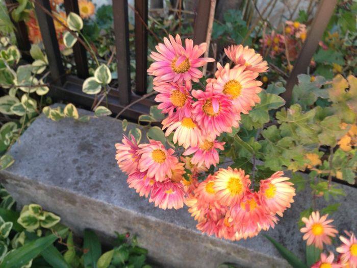 Flower Pink Color Nature Petal Freshness Plant Fragility Close-up Edgeofaroad