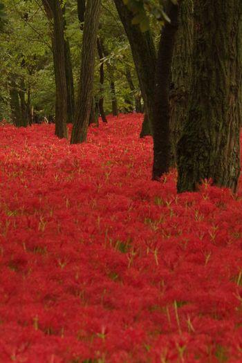 曼珠沙華 見ごろでした。 巾着田曼珠沙華公園 Pentaxk3 曼珠沙華 彼岸花 Red Flower