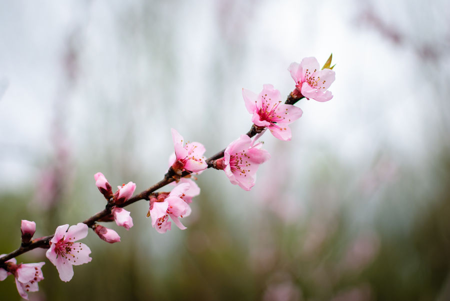 Beauty In Nature Blooming Blossom Close-up Flower Focus On Foreground Fragility Freshness Growth Nature Petal Pink Color Springtime
