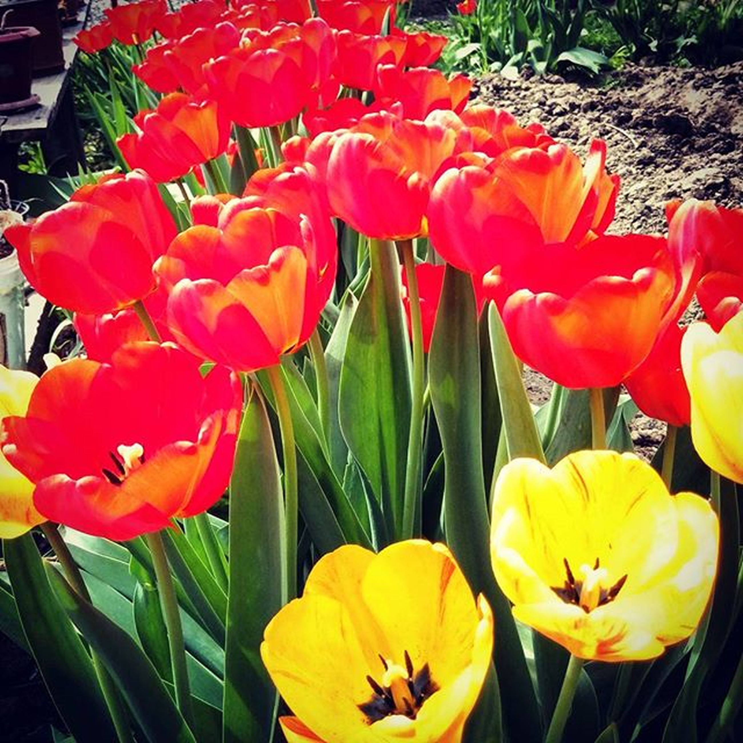 flower, petal, freshness, flower head, fragility, tulip, growth, beauty in nature, blooming, nature, plant, red, yellow, orange color, close-up, in bloom, park - man made space, outdoors, day, blossom