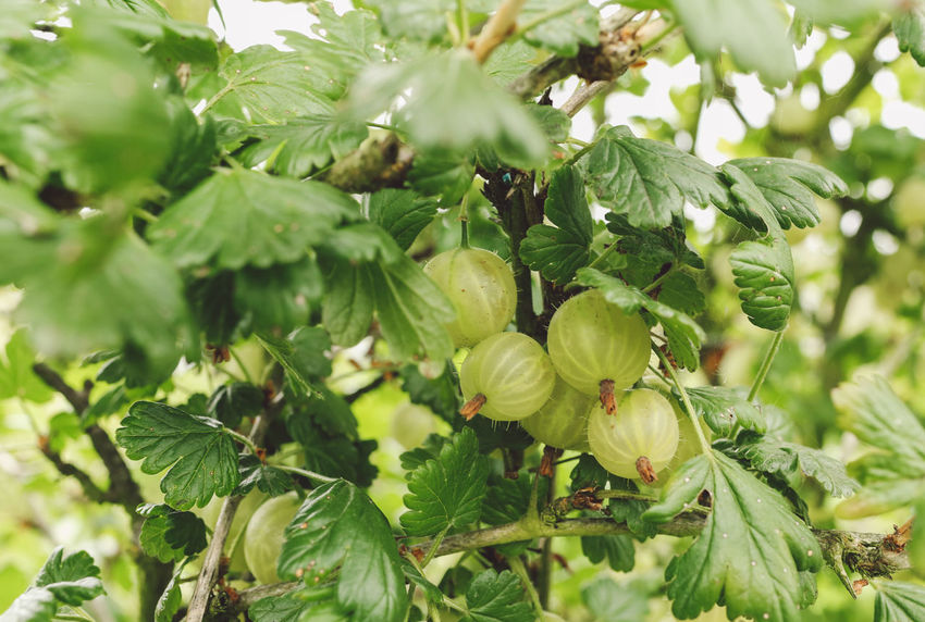 Backgrounds Beauty In Nature Close-up Day Farm Focus On Foreground Freshness Full Frame Gooseberries Gooseberry Green Green Color Growing Growth Leaf Leaves Lush Foliage Nature No People Outdoors Pick Your Own Fruit Plant Selective Focus Tranquility Tree Food Stories