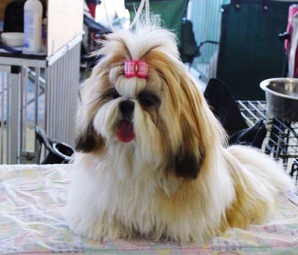 Little Miss Roxy Puppy Lovely Shit-tzu
