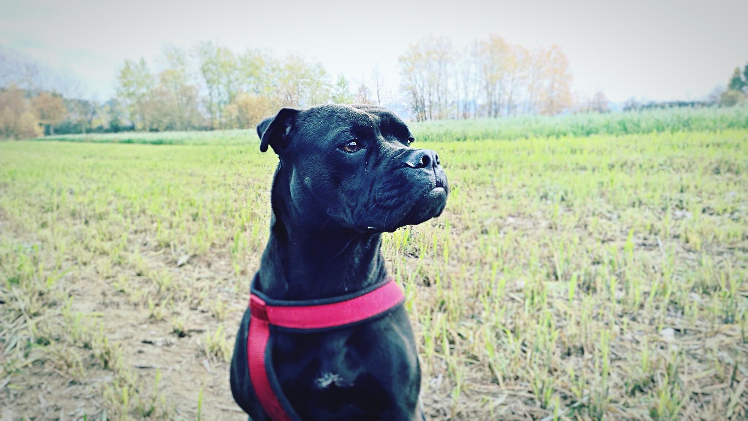 grass, dog, domestic animals, field, pets, one animal, animal themes, mammal, grassy, black color, landscape, standing, focus on foreground, looking at camera, portrait, nature, day, outdoors