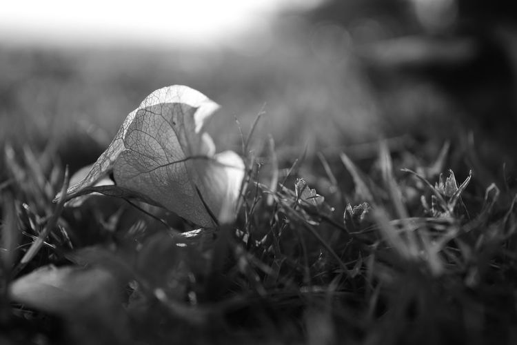 Paper flower or Bougainvillea on the ground in black and white. Nature Close-up Outdoors No People Grass Day Flower Blackandwhite