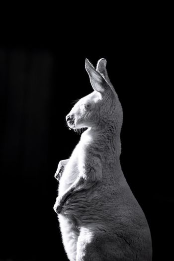 西 澳袋鼠/动物/生命/活力 Animal Themes One Animal Pets Mammal Domestic Animals No People Black Background Close-up Day Outdoors Black And White Friday