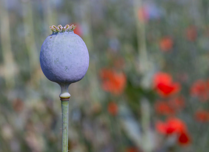 Close-up of poppy growing on plant