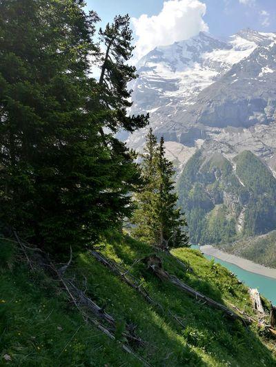 Swiss Tree