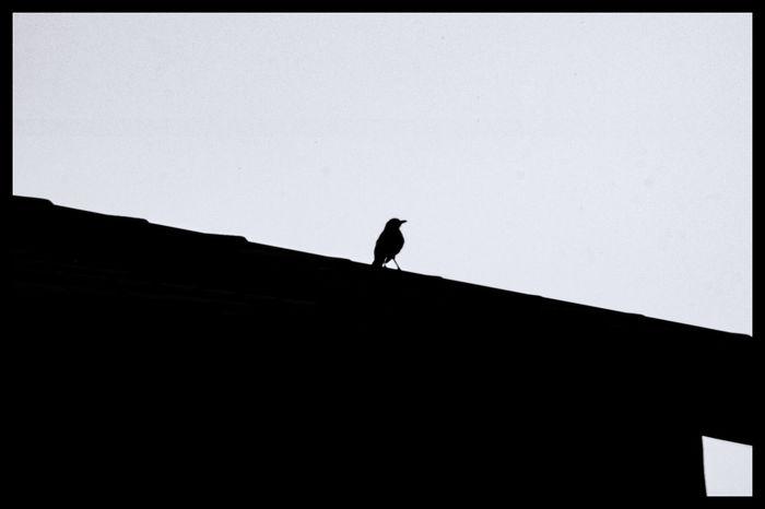 Bird silhouette B/W Shape Bird Bird On Rooftop Dark Lifestyles Outline Silhouette