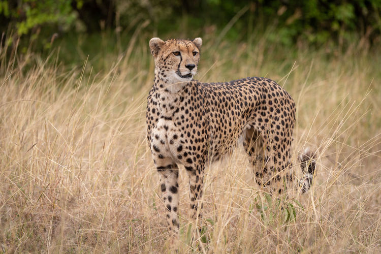 Cheetah standing on field in zoo