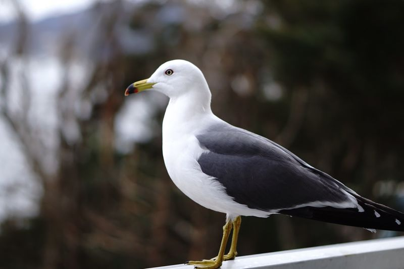 Bird Animal Themes Animals In The Wild Animal Wildlife Animal One Animal Seagull Nature Outdoors Looking Away Perching Focus On Foreground Side View