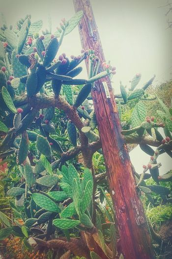 Telephone Pole Cacti Urban Landscape Cactus Hazy Days Overcast Skies Overcast Sky Outdoors Cactus Fruit Green Color Growth Nature Day No People Plant Fishing Net Beauty In Nature Tree Freshness Close-up