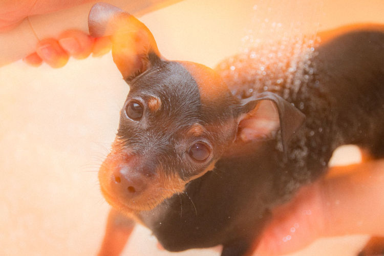 Close-Up Portrait Of Miniature Pinscher