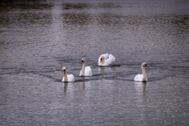 View of swans swimming in lake