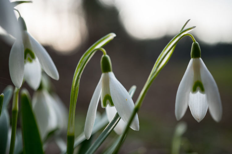 Plant Growth Close-up Snowdrop Vulnerability  Fragility Beauty In Nature Flower Green Color Nature Focus On Foreground Freshness Flowering Plant Day No People White Color Selective Focus Petal Plant Part Leaf Outdoors Flower Head Spring