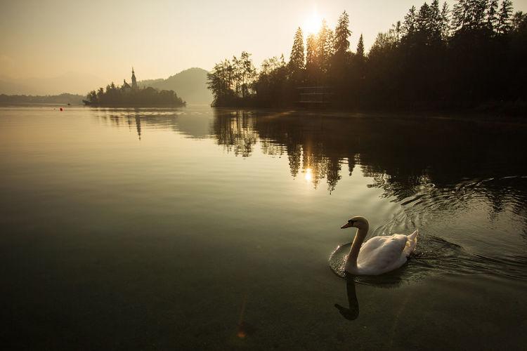 Swan swimming in lake at sunset