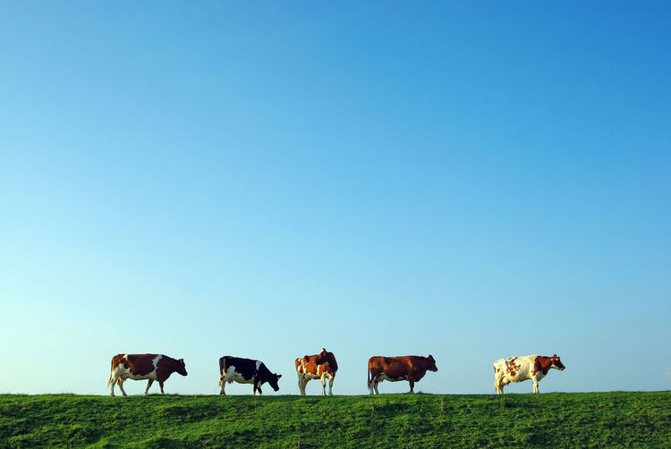 Animal Themes Blue Clear Sky Cows Dike Dyke  Grass Landscape Looking Back Nature No People Outdoors Sky EyeEmNewHere North Sea Region The Great Outdoors - 2017 EyeEm Awards Neighborhood Map