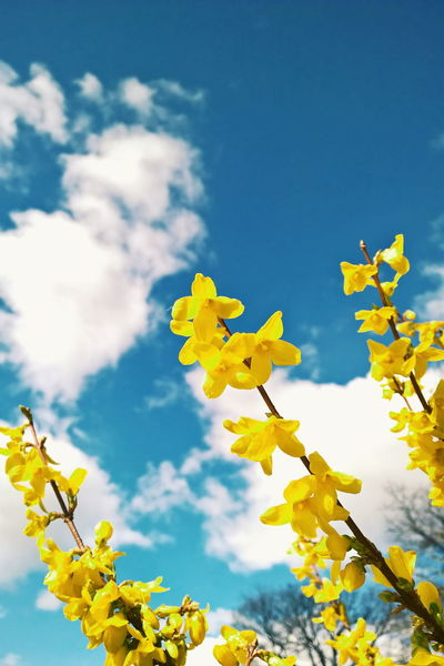 Springtime, forsythia is blooming Abundance Agriculture Botany Change Crop  Day Farm Field Fragility Grassy Green Green Color Growth Landscape Lush Foliage Nature Easter Ready Springtime Yellow Yeah Springtime! Spring Forsythia Flowers Blooming Blossom