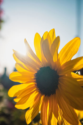 Close-up of yellow flower against sky