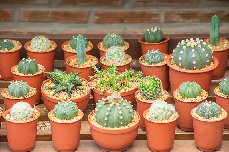 Many Small Cactus For decorative plant on table. Background Beautiful Beauty Bloom Blossom Botany Branch Cactus Closeup Color Colorful Decoration Desert Dry Exotic Flora Floral Flower Fresh Fruit Garden Green Grow Growth HEAD Healthy Isolated Leaf Macro Natural Nature New Pink Plant Pot Red Season  Seasonal Seed Sharp Small Succulent Summer Thorn Tree Tropical Vintage White Wood Yellow