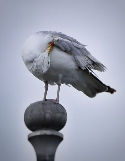 Getting that itch. Seagull Dunlaoghaire Marina EyeEm Nature Lover Ireland