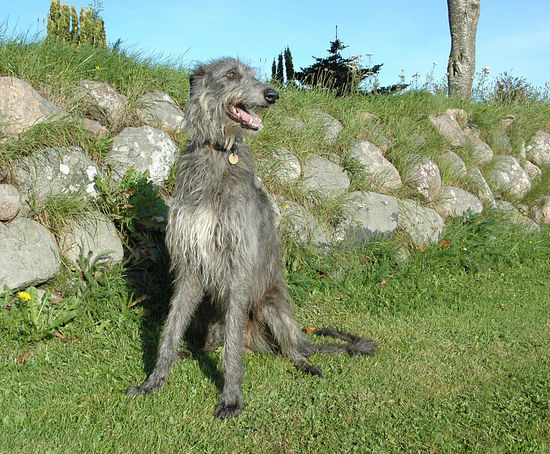 Scottish Deerhound sits at a stone wall Deerhound Scottish Deerhound Animal Themes Day Dog Domestic Animals Field Grass Male Dog Mammal Nature No People One Animal Outdoors Pets Shadow Sighthound Sky Stone Wall Tree