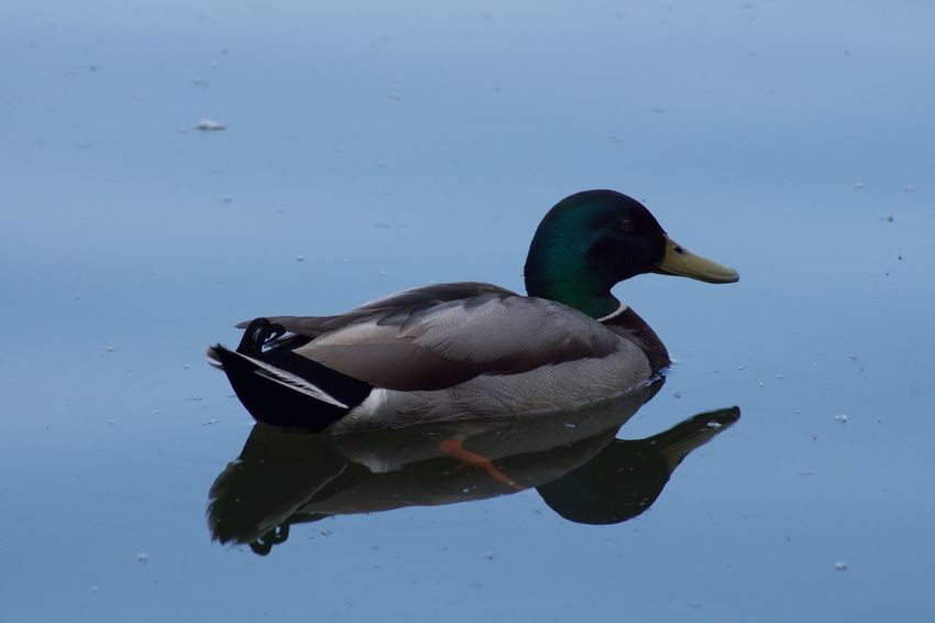 Animal Themes Animals In The Wild Balance Beak Bird Challenge Day Duck Mallard Duck No People One Animal Outdoors Relaxation Relaxing Side View Still Life Swimming Two Animals Water Water Reflections Wildlife Zoology