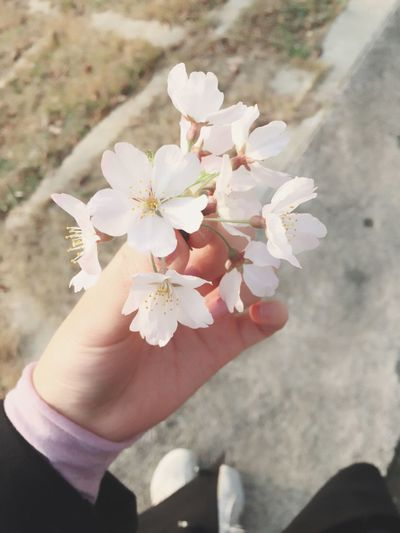 벚꽃 Cherry Blossoms