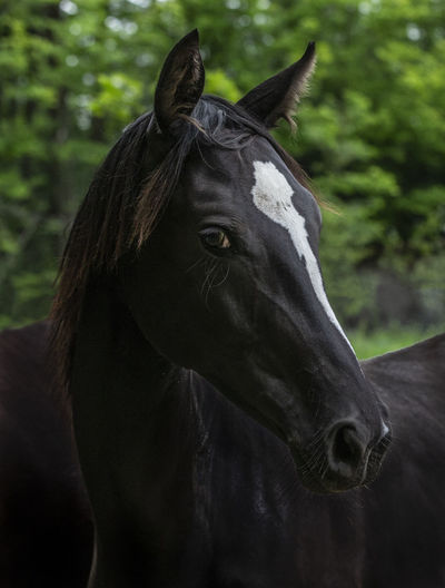 July 06, 2018 - Sherbrooke, Québec Canada: Juliette is a 1 year old pure bred Oldenburg warm blood. Juliette poses for the camera in her meadow. Photo Normand Blouin Horses Looking At Camera Oldenburg Animal Animal Body Part Animal Eye Animal Head  Animal Themes Close-up Day Domestic Animals Female Focus On Foreground Herbivorous Horse Livestock Look Mammal Nature No People One Animal Outdoors Purebred Ranch Vertebrate