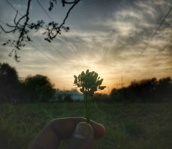 Sunset Nature Beauty In Nature Tree Atmospheric Mood Single Tree Field Dusk Landscape Idyllic Sky Silhouette Flower Growth Plant Cloud - Sky Rural Scene Outdoors Scenics Gold Colored Mix Yourself A Good Time Ahmedabad Ahmedabad India Step It Up