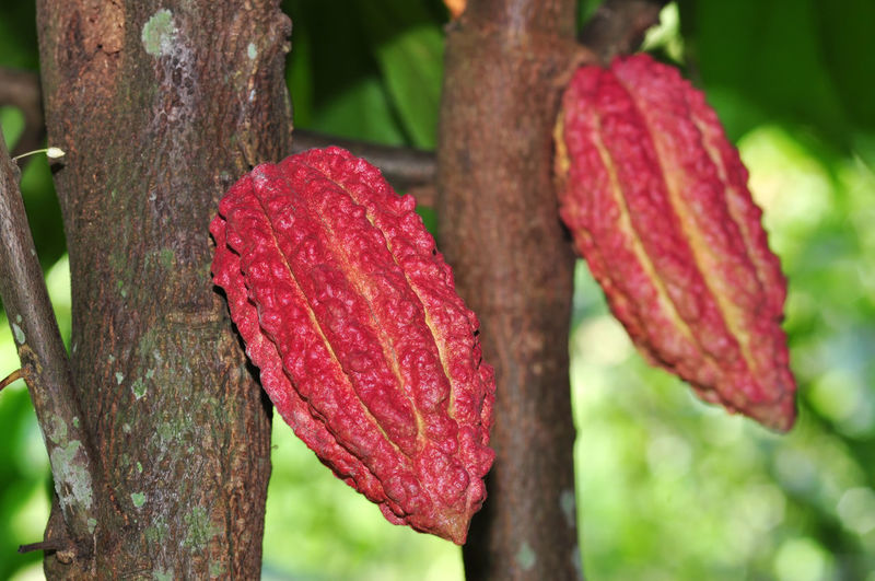 cacao fruits Plant Focus On Foreground Close-up Growth Day No People Tree Red Beauty In Nature Nature Freshness Trunk Tree Trunk Flower Outdoors Pink Color Flowering Plant Botany Selective Focus Vulnerability