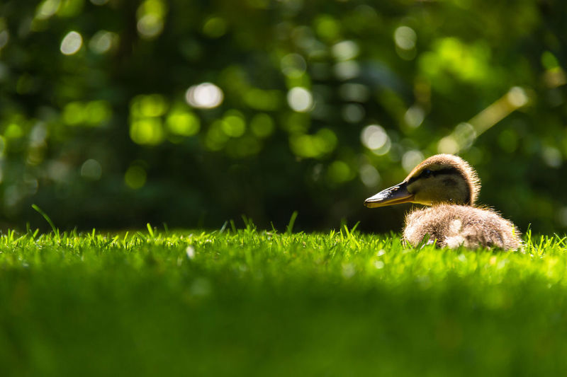 Duckling On Grassy Field During Sunny Day