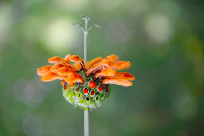 Lion's Ear Leonotis Leonurus Botany Beauty In Nature Flower Flowering Plant Close-up Plant Focus On Foreground Orange Color Freshness Nature Fragility Flower Head No People Growth Vulnerability