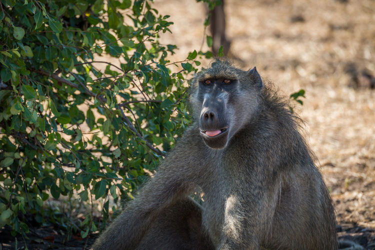 Close-Up Of Chacma Baboon In Forest