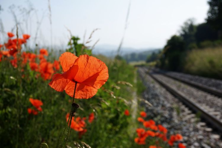 Poppy series . Railroad Track Change Day Plant Outdoors Nature Growth No People Transportation Beauty In Nature Rural Scene Flower Close-up Freshness Blue Sky Fragility Petal Summer Nature Red Poppy Uncultivated Close-up Shot Live For The Story Perspectives On Nature