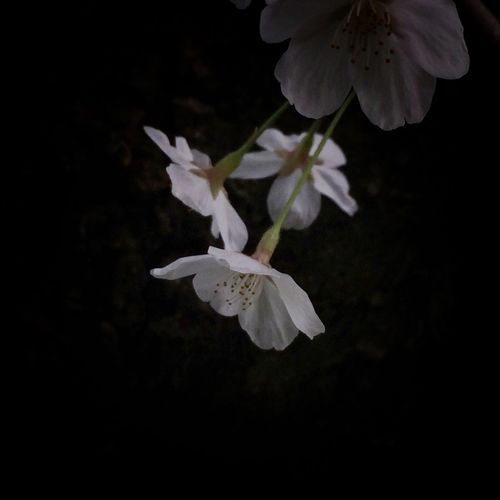 Close-up of white flowers blooming at night