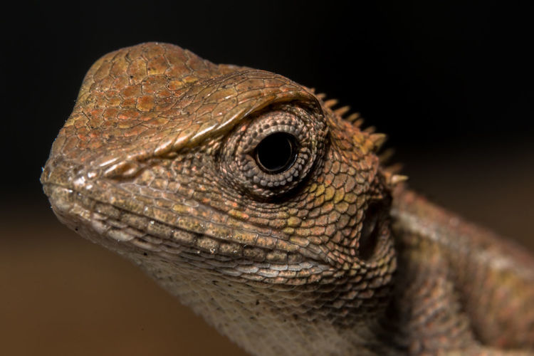 Take a closer look at the chameleon Animal Head  Animal Themes Animal Wildlife Animals In The Wild Bearded Dragon Black Background Close-up Day Iguana Lizard No People One Animal Outdoors Reptile