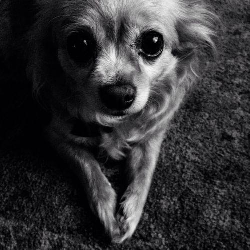 My good pal Goldie...:) Blackandwhite , Chihuahua, Dog,