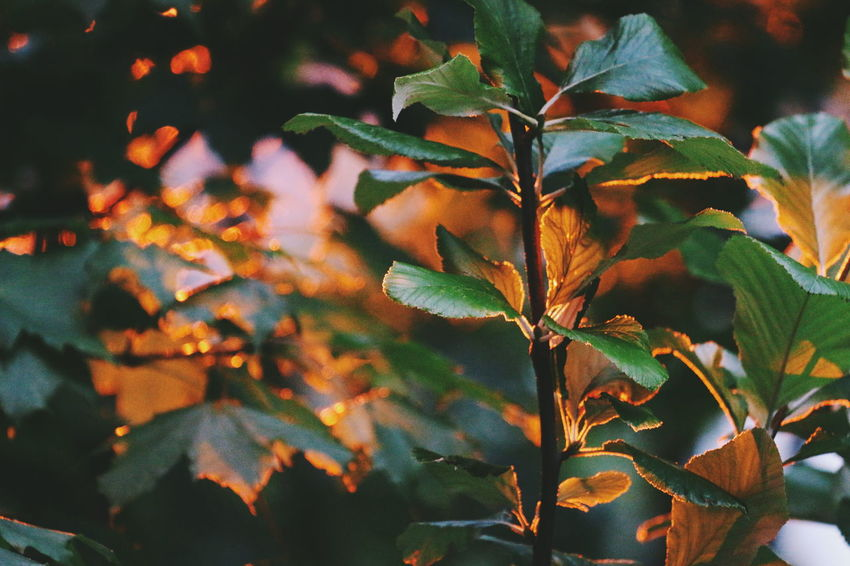 Fading light Leaf Nature Beauty In Nature Plant Tree Beauty Outdoors Growth Day No People Close-up Plant Part Freshness