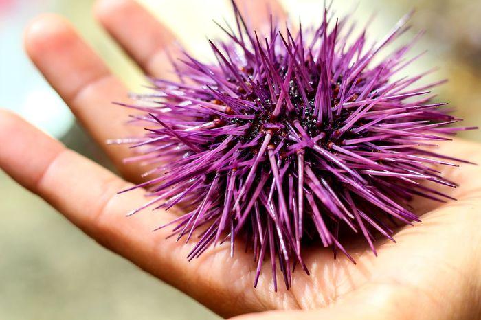 Erizosdemar Purple Lifestyles Erizo De Mar Wildlife 50mm Nature Details 50mm 1.8 Natureza