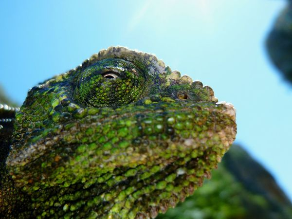 Reptile Lizard Animal Wildlife Chameleon One Animal Iguana Animals In The Wild Green Color No People Close-up Nature Day Animal Themes Tree Outdoors Beauty In Nature Sky Eye EyeEm Best Shots EyeEm Nature Lover EyeEmNewHere Live For The Story Photography The Great Outdoors - 2017 EyeEm Awards The Photojournalist - 2017 EyeEm Awards