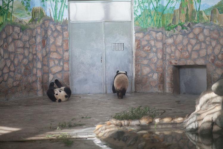 Two pandas against stone wall